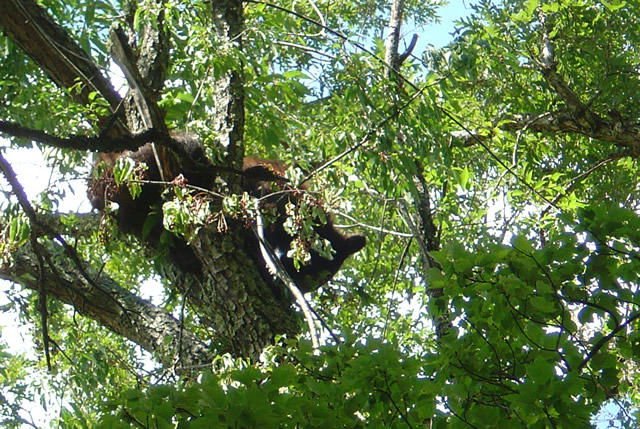 Photo - bear in tree in Great Smoky Mountains National Park