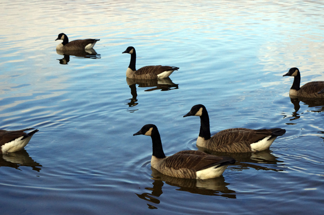 Photo - Canada Geese