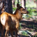 photo-elk-calf