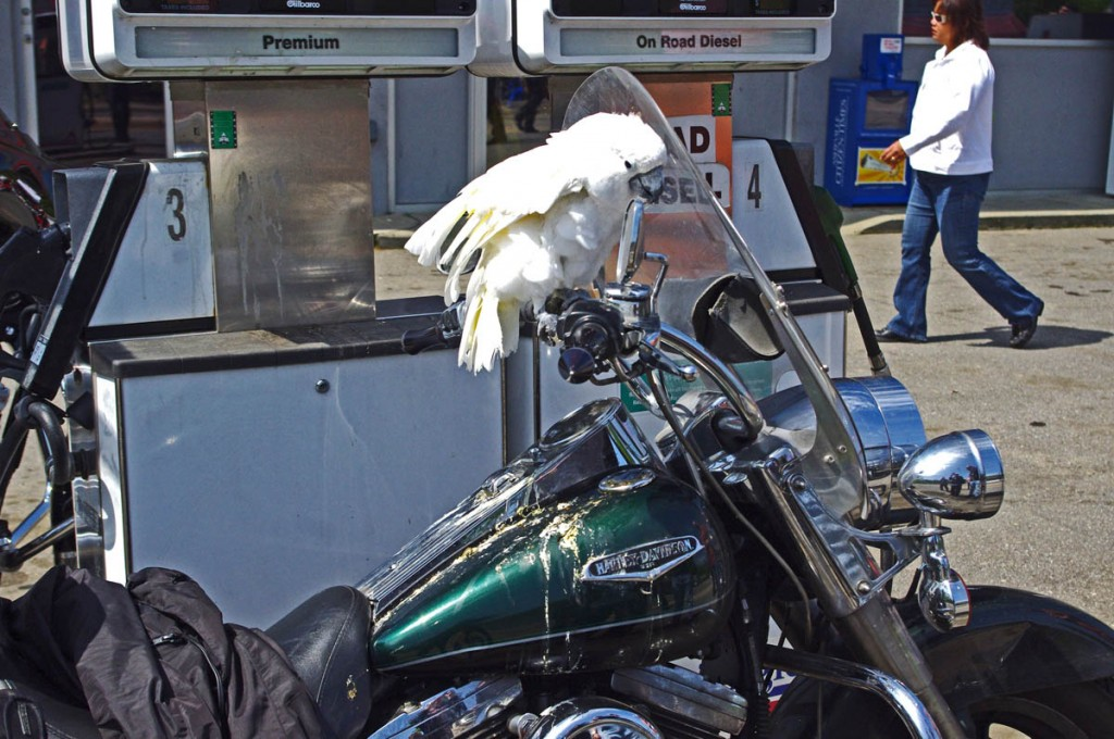 photo-parrot-rides-on-motorcycle